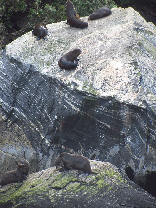 Milford Sound seals