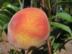 starr-140614-4511-Prunus_persica_var_persica-Tropic_Beauty_fruit-Hawea_Pl_Olinda-Maui