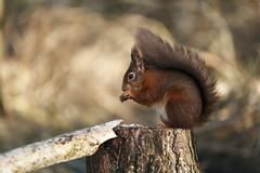 HolderRed Squirrel