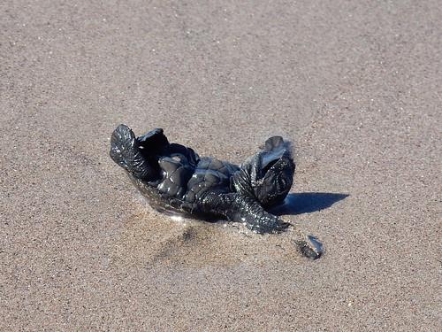 Celestino Gasco - turtle release - 5