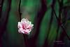 Peach blossom - Viet Nam