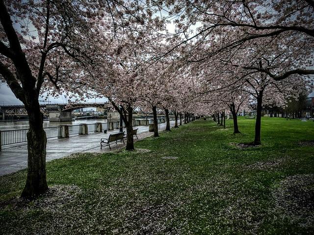 Cherry blossom concordance