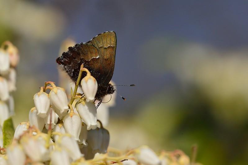 コツバメ / Callophrys ferrea