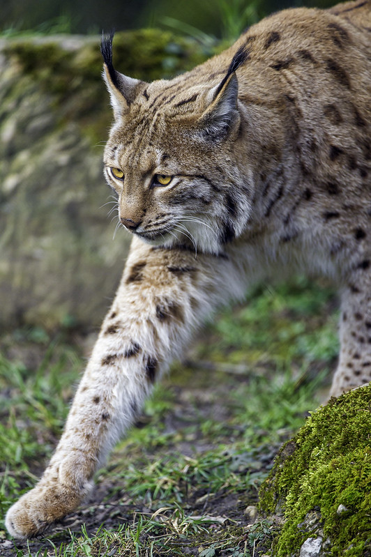 Lynx carefully walking