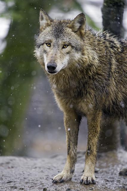 Standing calm wolf