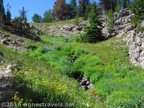 Wildflowers along the Bonneville Pass Trail beyond the pass, Shoshone National Forest, Wyoming
