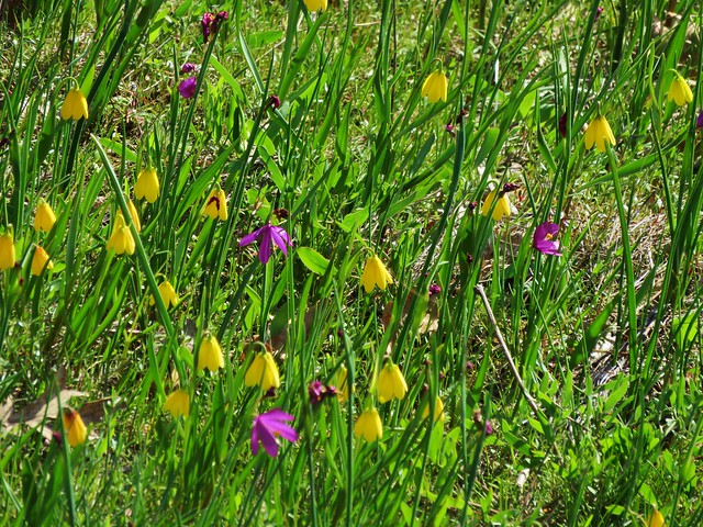 Grass widows and yellow bell lilies