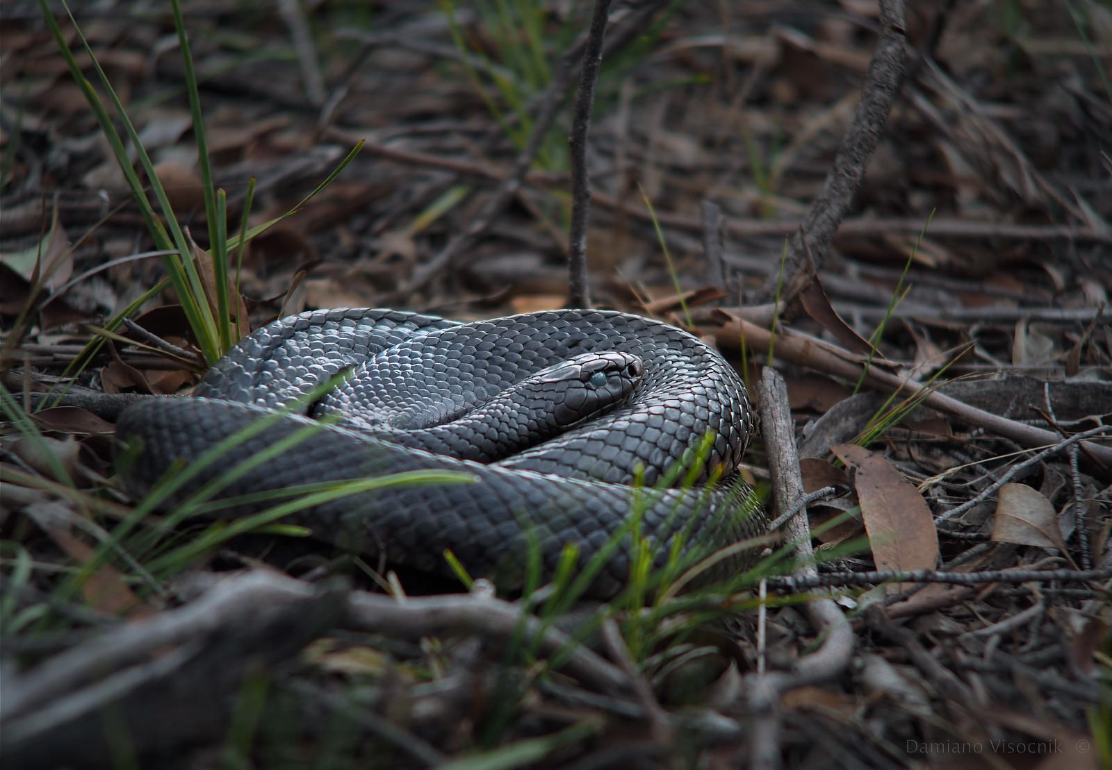 Blind snake_c