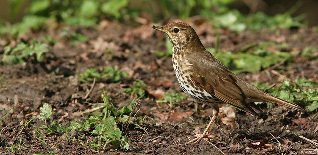 Song Thrush,Hubbards Hills, Louth,Lincolnshire.