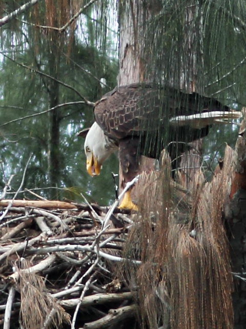 Bald Eagle male feeding nestling 7-20160119