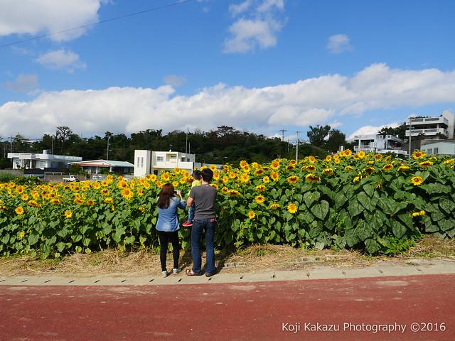 沖縄県北中城村のひまわり-80