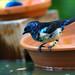 A fairy bluebird (Elfenblauvogel)