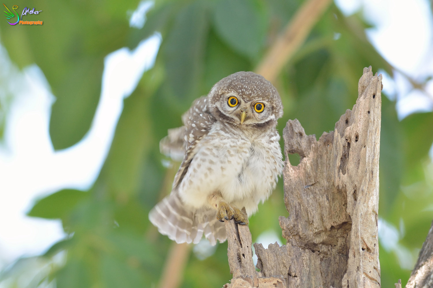 Spotted_Owlet_2986