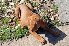 16-02-27 Puppies 659
