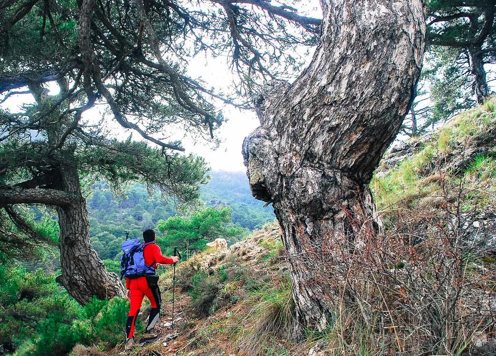 Preciosos los pinos bajo la Loma de los Bolos