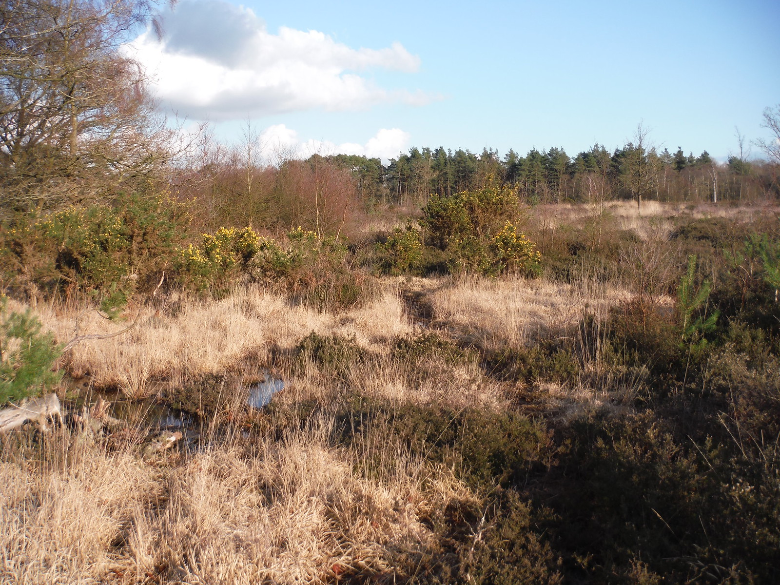 Heathland on Bucklebury Common SWC Walk 117 Aldermaston to Woolhampton (via Stanford Dingley)