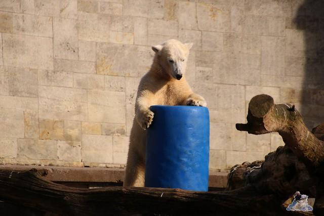 Eisbär Fiete im Zoo Rostock 20.03.2016  0247