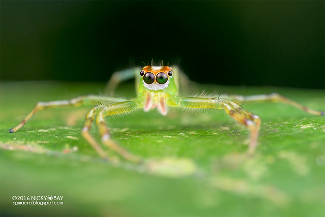 Jumping spider (Epeus sp.) - DSC_6077