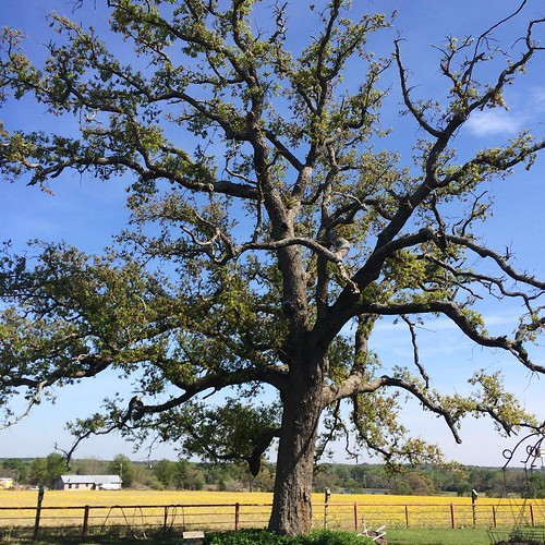 Fave tree at grandparents farm. #home #easttexas