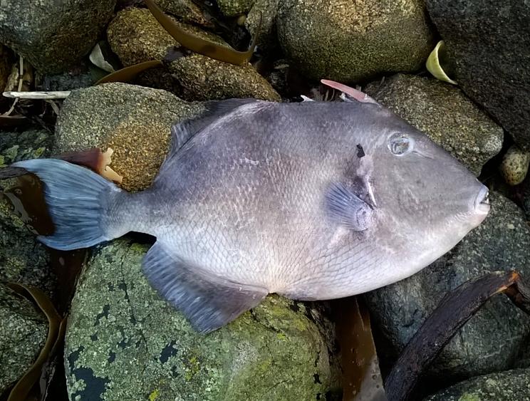 Triggerfish Pulias 9Feb16