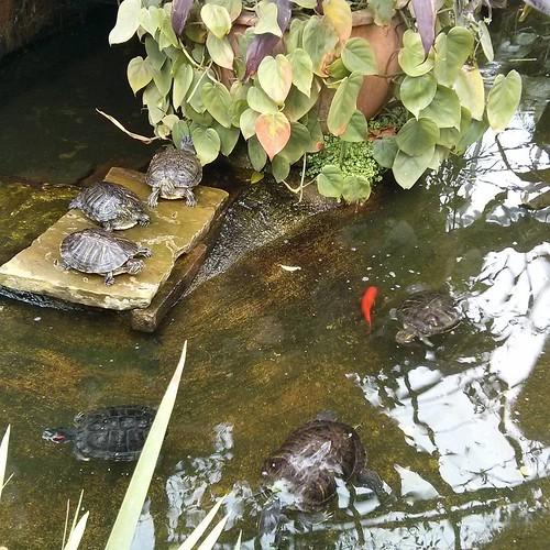 Turtles and goldfish #toronto #allangardens #gardens #turtles #goldfish