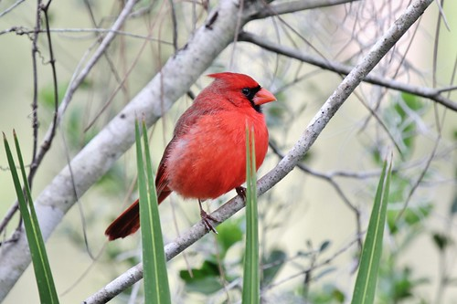 winter red nature cardinal wildlife february redbird northerncardinal southernflorida corkscrewswamp canon60d jannagal jannagalski