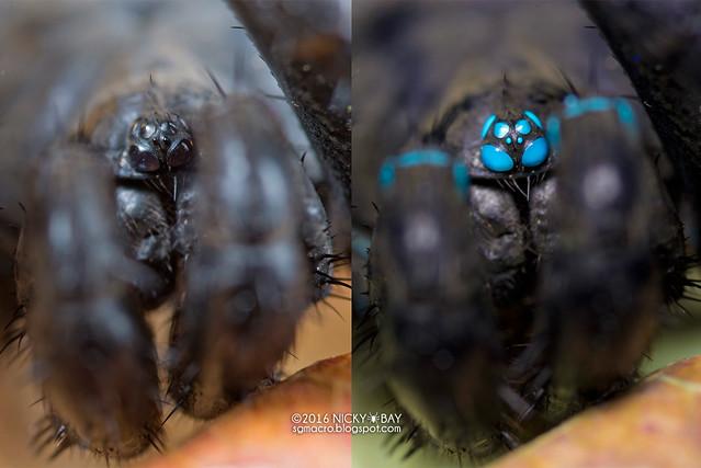 Black armored trapdoor spider (Liphistius sp.) - Liphistius_ESC_0135