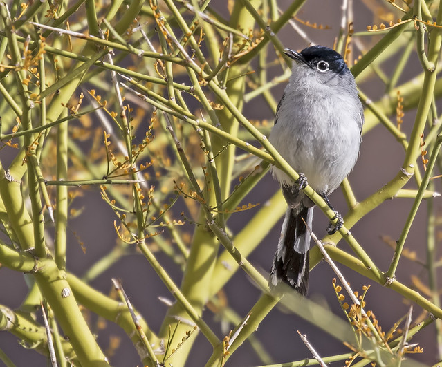 Black-tailed Gnatcattcher 14_7D2_210316