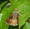 Umber Skipper (Poanes melane) and Leaf Beetle (Subfamily Eumolpinae) by J. Maughn