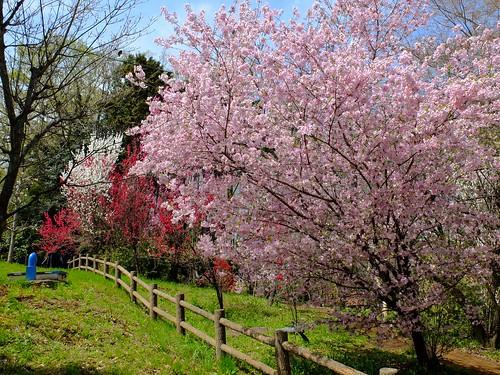 御殿場桜、ほうき桃