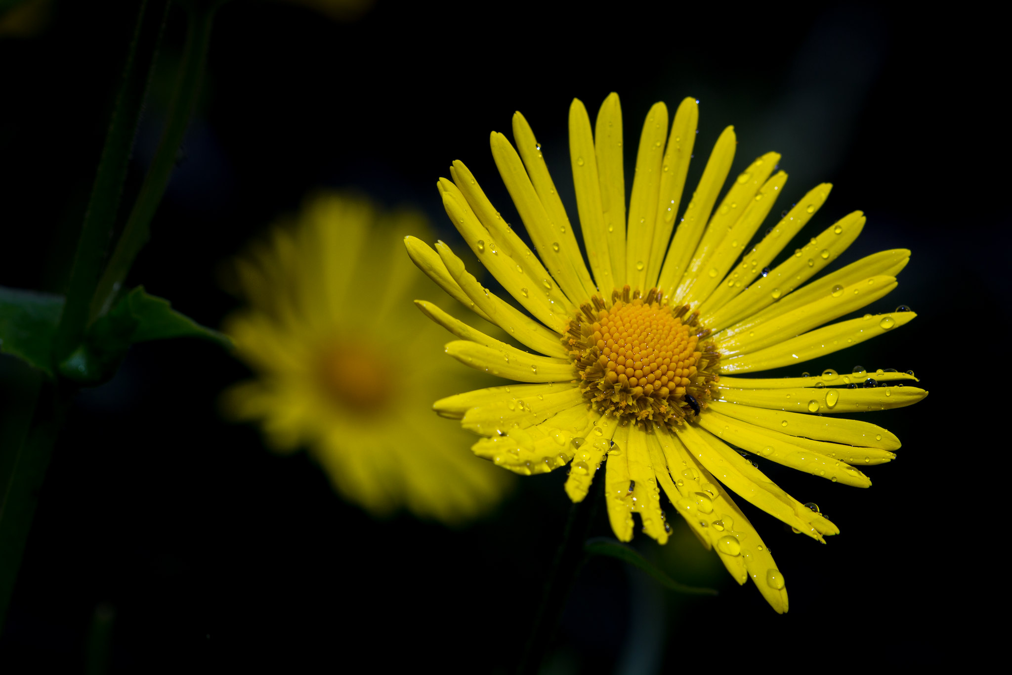 Doronicum in the rain