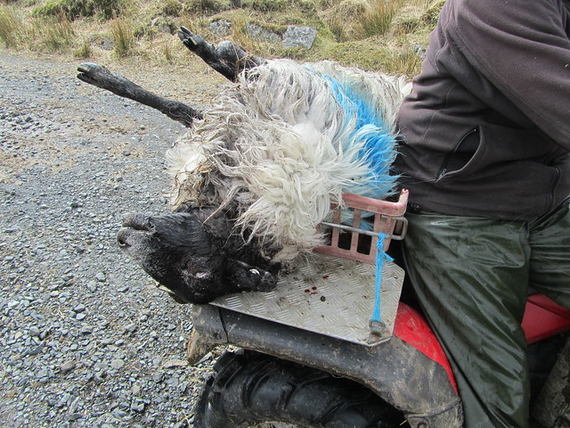 Rescued sheep