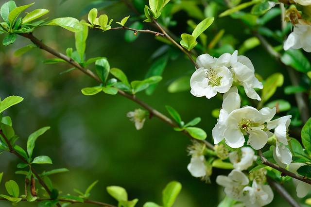 ボケ Japanese quince