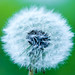 Dandelion by Photon-Huntsman