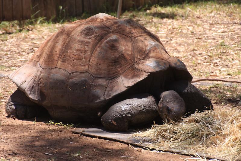 Galapogas Tortoise