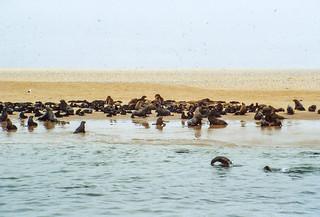 Robben- und Seeschwalbenkolonie bei Walvis Bay