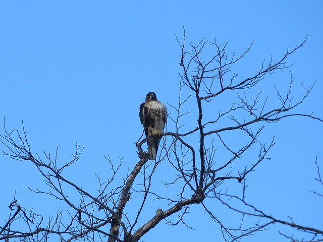 hawk in santa monica mountains