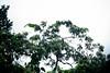Red-necked amazon (Jaco Parrot)