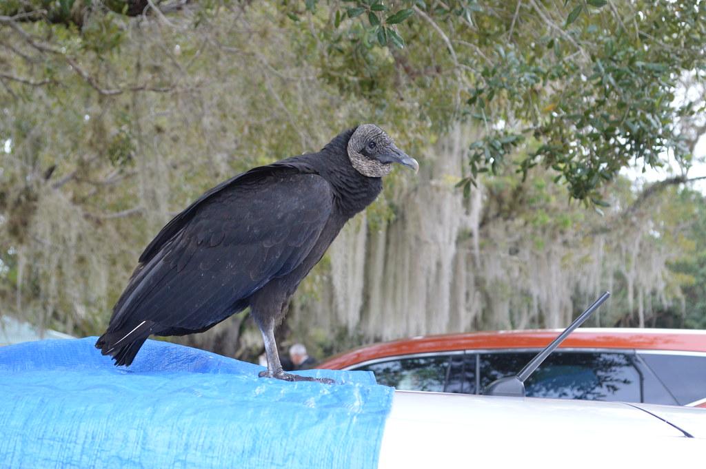 Black Vulture #36