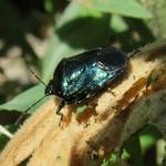 acélkék poloska - Zicrona caerulea