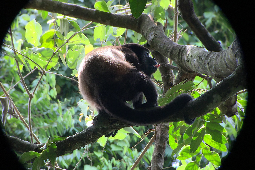 Manuel Antonio National Park Howler Monkey