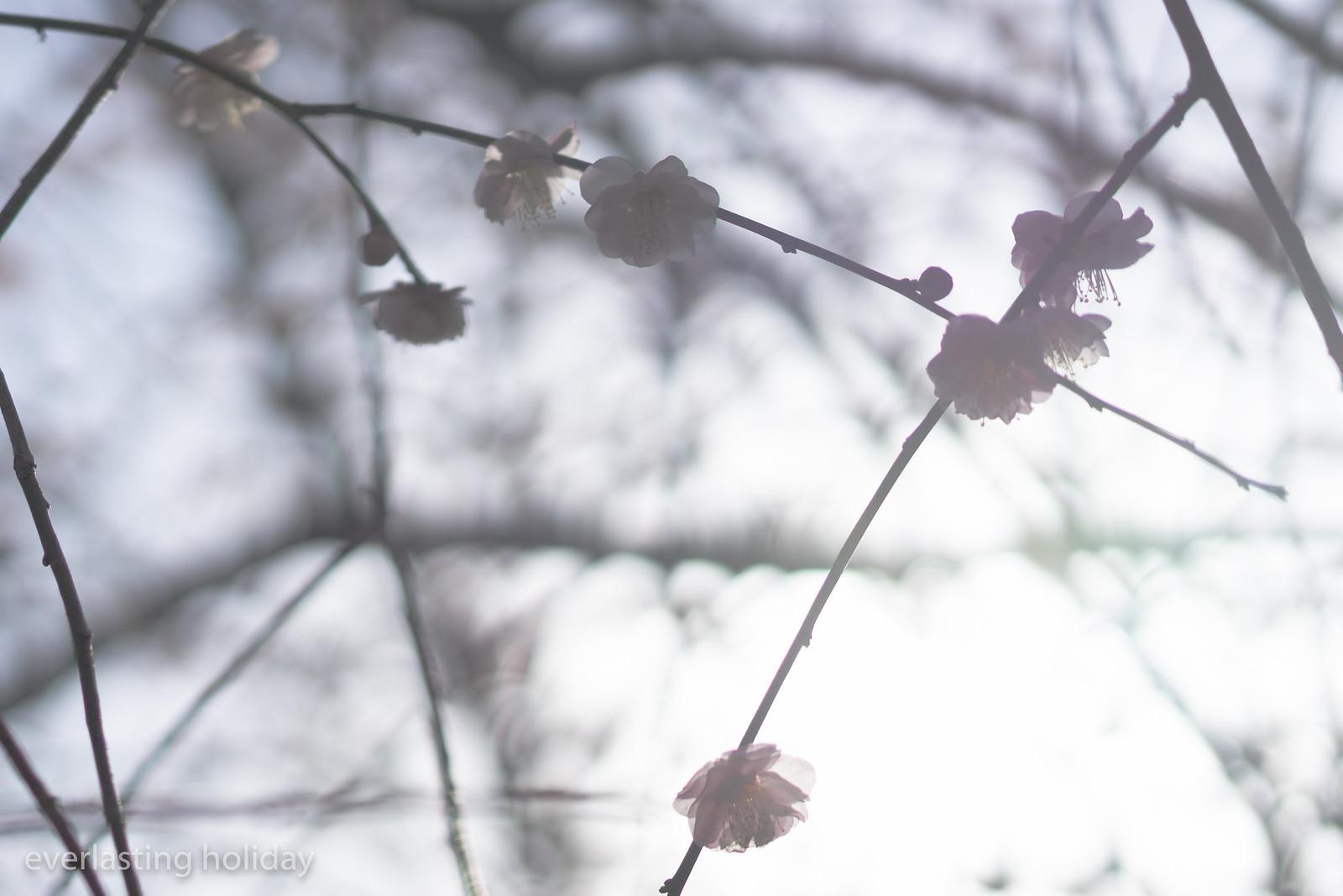 梅か桜か 3