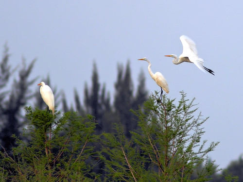 Great Egret trio HDR 01-20160313
