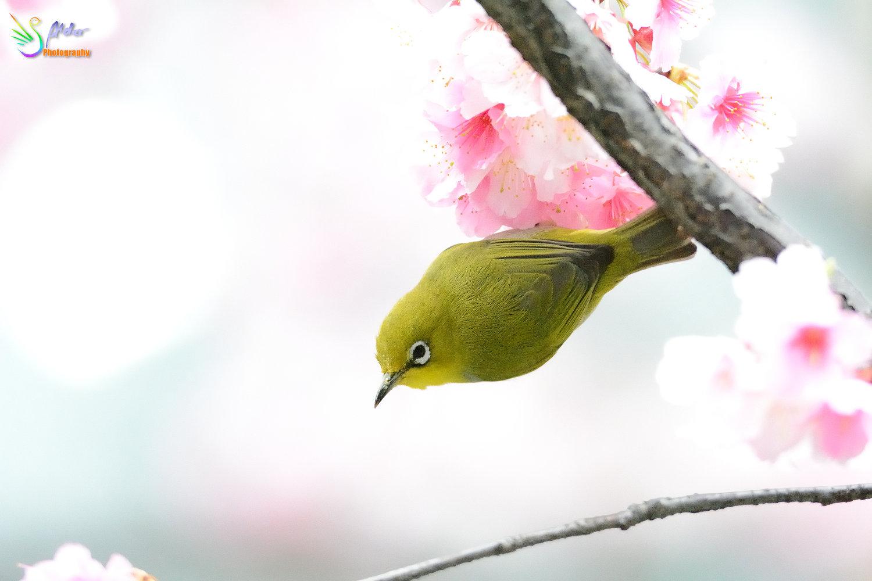 Sakura_White-eye_7516