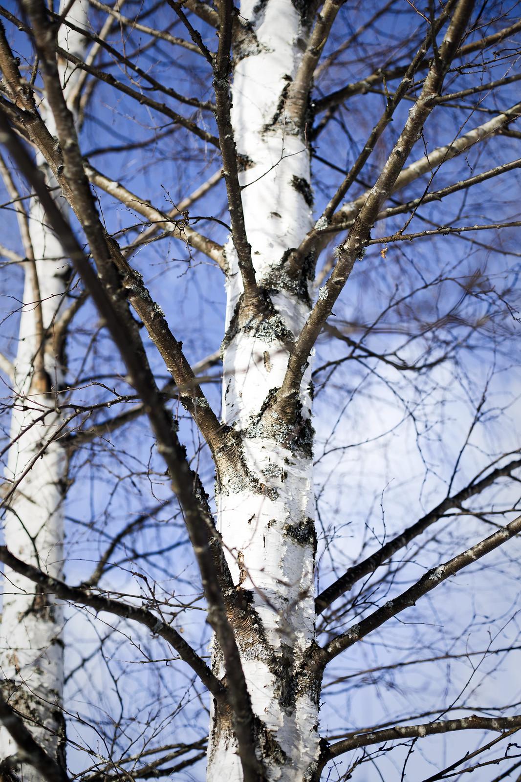 Björk och blå himmel - Februari