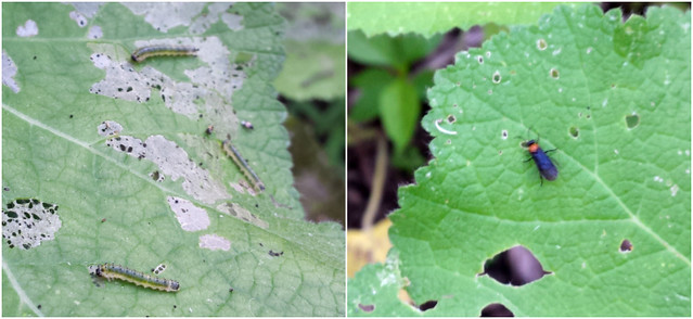 three light green caterpillars on a leaf with the top layer removed in several spots; short and stout black fly with an orange head