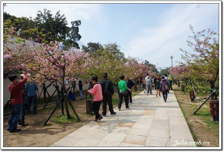 麗池公園河津櫻 (12)