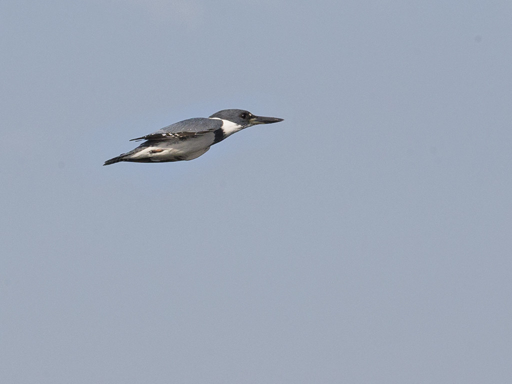 Belted Kingfisher       Cuba
