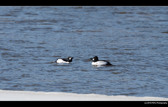 Common Goldeneyes (Bucephala clangula)