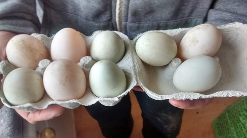 duck eggs Apr 16